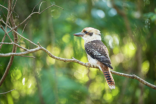 Kookaburra outside during the day. by Rob D Imagery