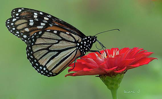 Monarch on Zinnia by Diane Giurco