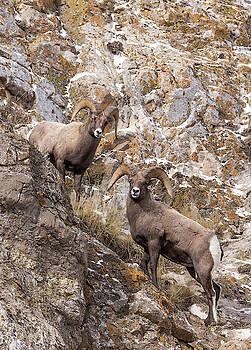 Bighorn Sheep by Michael Chatt