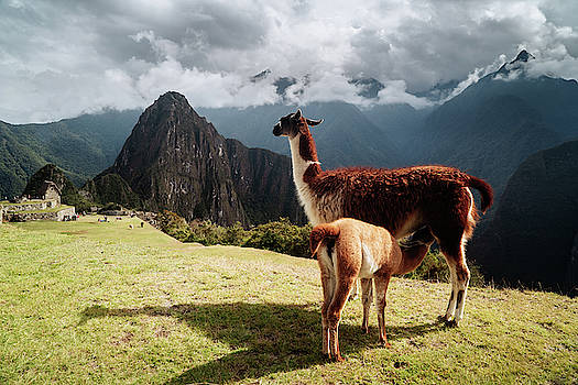 A baby llama suckling on mother llama at Machu Picchu by Kamran Ali