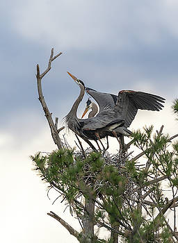 A Bonded Pair Of Great Blue Herons 2019-1 by Thomas Young