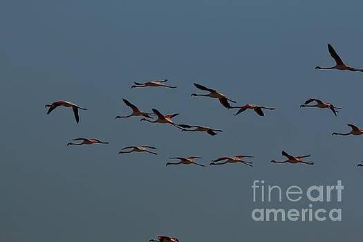A Flamboyance of Flamingos by Tony Lee