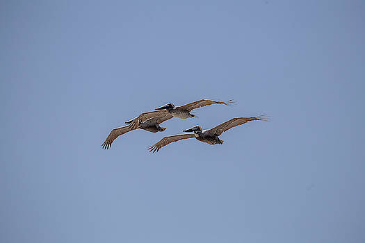 A Flock of Pelicans 4 by David Stasiak