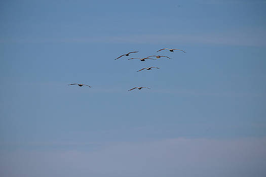 A Flock of Pelicans 8 by David Stasiak