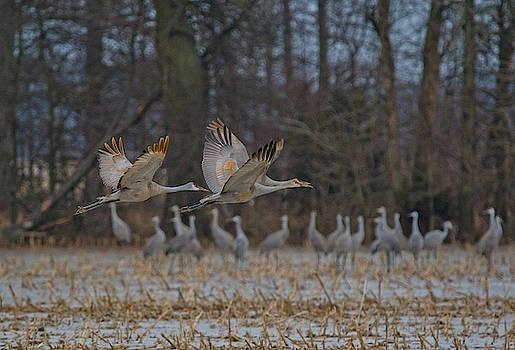 A Flock of Sandhill Cranes by Ina Kratzsch