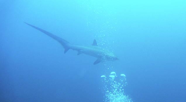 A Friendly Thresher Shark-1 by Paul Ranky