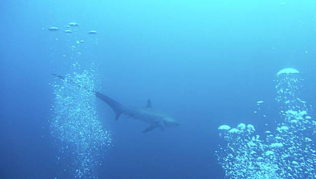 A Friendly Thresher Shark-2 by Paul Ranky