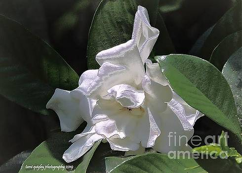 A Gardenia Grows In Dixie by Tami Quigley