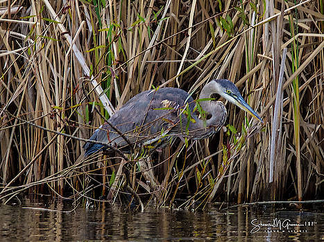 Heron Returns Seven by Shawn M Greener