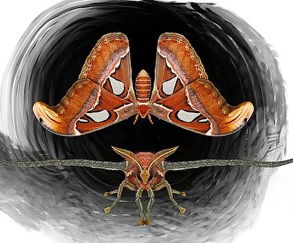 A is For Atlas Moth by Joan Stratton