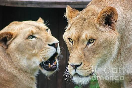 A Lion's Stare by Vicki Spindler