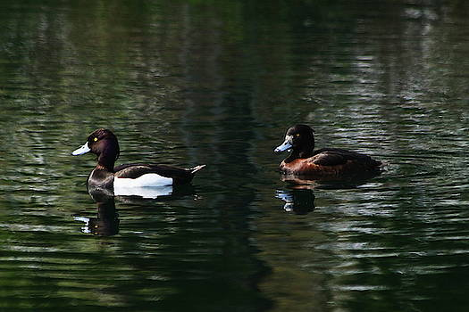 A Pair Of Tufted Ducks by Jeff Townsend