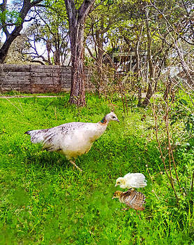 A Peahen And Her Chicks by Sandi OReilly