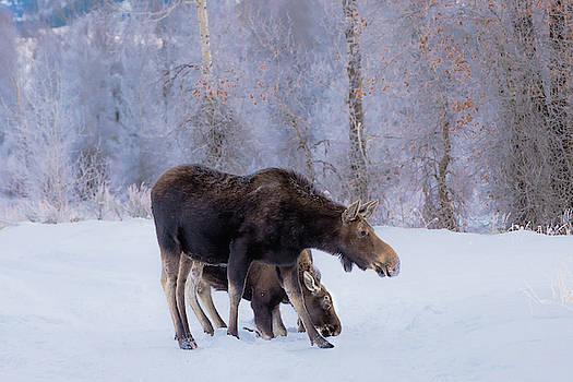 A Protective Moose Mom by Barbara Hayton