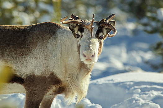 A reindeer is looking into the camera in a sunny forest by Intensivelight