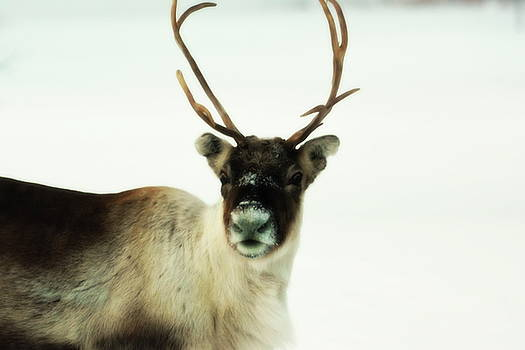 A reindeer is looking into the camera - soft by Intensivelight