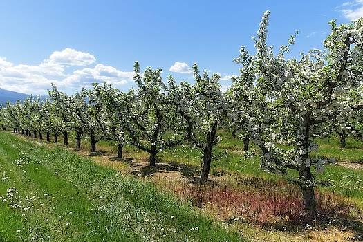 A Row Of Apple Trees In Bloom by Allan Van Gasbeck