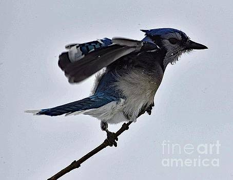 Cindy Treger - Blue Jay A Second Away From Liftoff