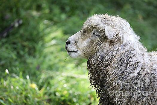 A Content Sheep by Rachel Morrison