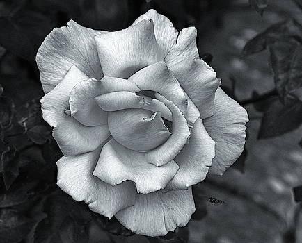 A Single Rose Monochrome by Jeff Townsend