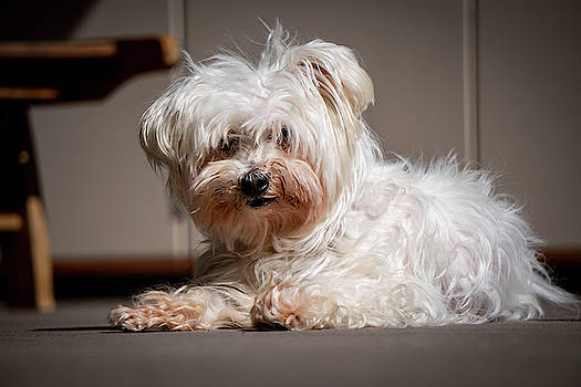 a small white Maltese dog by Karsten Eggert