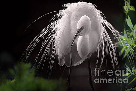 A Touch Of Class - Great Egret With Plumage by Mary Lou Chmura