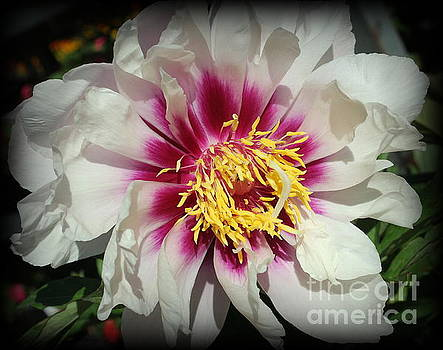A Touch of Purple on White Peony by Dora Sofia Caputo Photographic Design and Fine Art