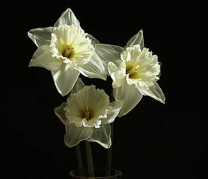 A Trio Narcissus Flowers by Jeff Townsend