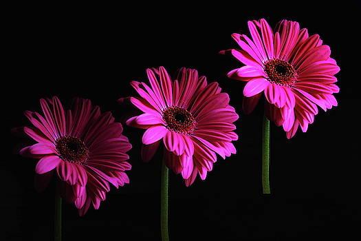 A Trio Of Gerbera Flowers by Jeff Townsend