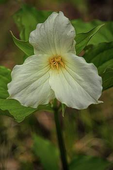 Dale Kauzlaric - A Woodland Trillium