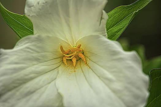 Dale Kauzlaric - A Woodland Trillium Macro