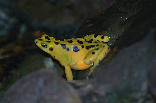 A Yellow Poison Dart Frog by Chris Flees