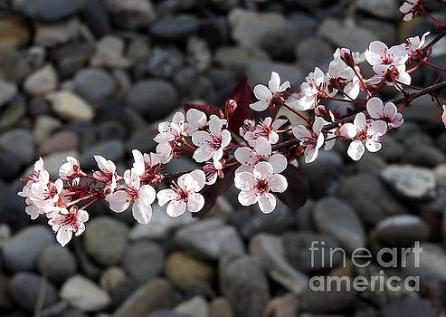 Blossoms, Above The Rocks by Phyllis Kaltenbach