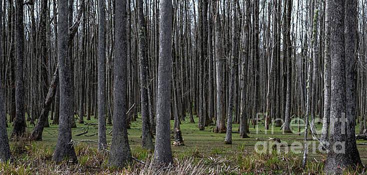Dale Powell - Ace Basin Swamp