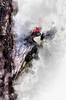 Acorn Woodpecker watercolor by Bryan Keil