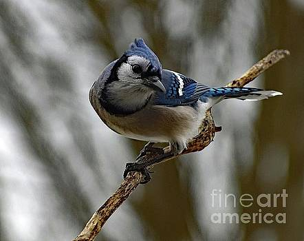 Cindy Treger - Action Pose - Blue Jay