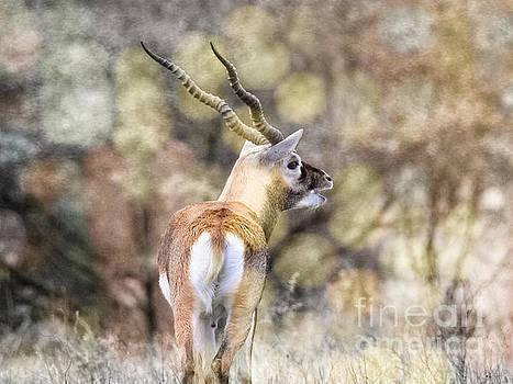 Addax Screw Horn Antelope by Ella Kaye Dickey