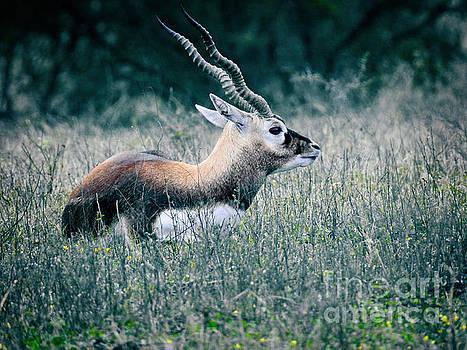 Addax - White Antelope by Ella Kaye Dickey