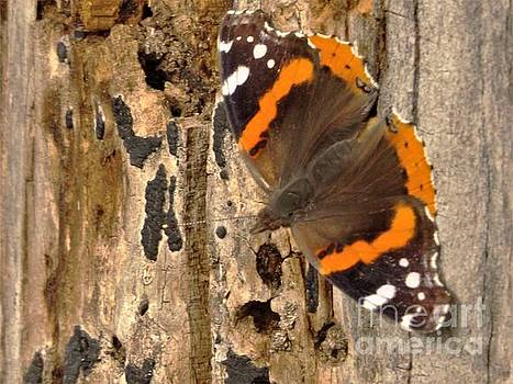 Admiral Butterfly Drying Wings on Dead Maple Trunk        April          Indiana by Rory Cubel