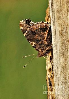 Admiral Butterfly On Maple Tree Trunk            April         Indiana by Rory Cubel