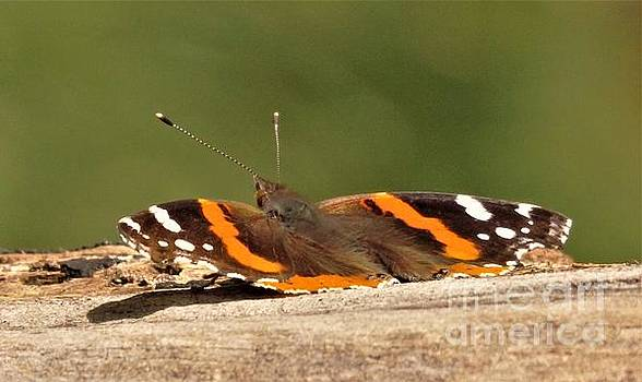 Admiral Butterfly Sunning On Maple Bark        Spring      Indiana by Rory Cubel