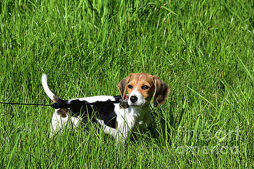 Adorable Baby Beagle Puppy Dog in Tall Green Grass by DejaVu Designs