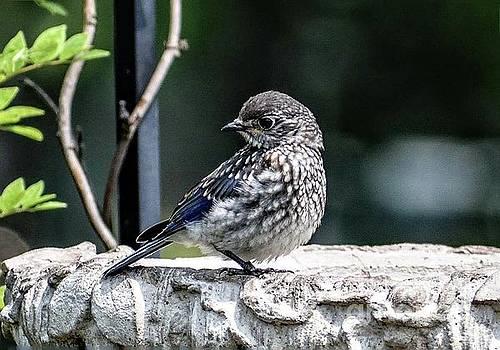 Adorable Juvenile Eastern Bluebird by Cindy Treger
