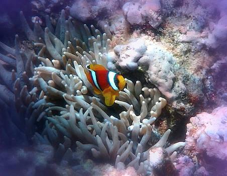 Adorable Red Sea Anemonefish by Johanna Hurmerinta