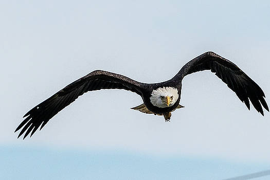 Adult eagle hunting by Gary E Snyder