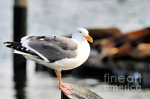 Diann Fisher - Adult Western Gull