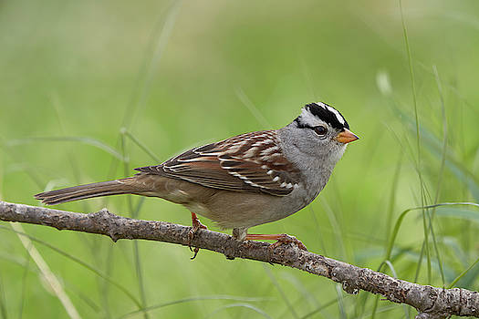 adult White-crowned Sparrow by Doug Herr