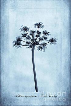Aethusa cynapium Cyanotype by John Edwards