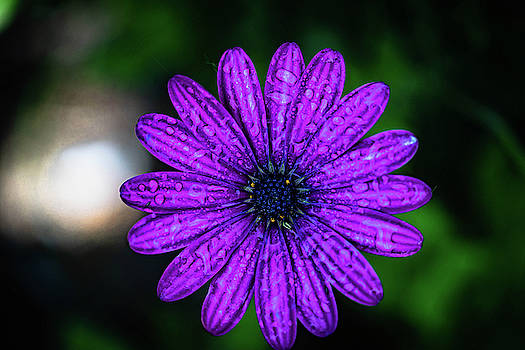 African Daisy by Dave Prendergast