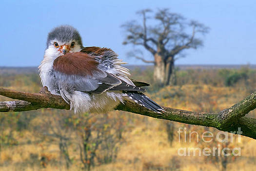 African Pygmy Falcon by Arterra Picture Library